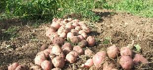 Delikatessen zürich delikatessenhändler Donat Gut Antike Kartoffelsorten