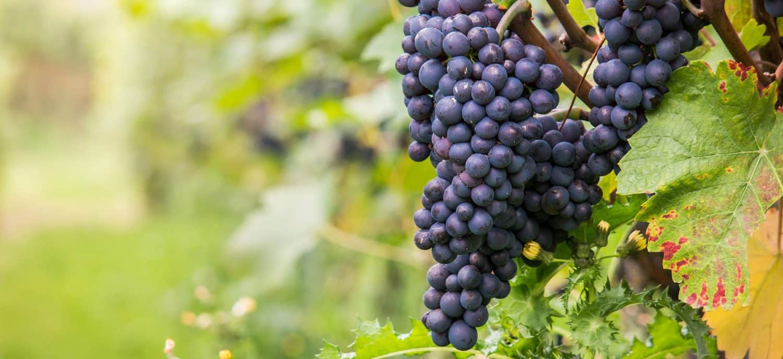 weinhandel zürich Weinhandlung Donat Gut Trauben aus dem Veneto